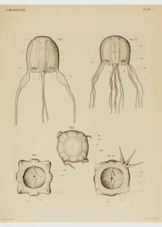 Sea wasp / Box jellyfish | Poisonous Nature