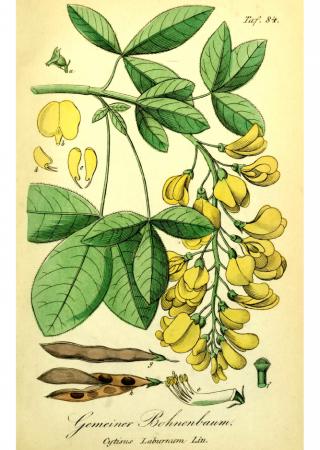 common laburnum poisonous nature