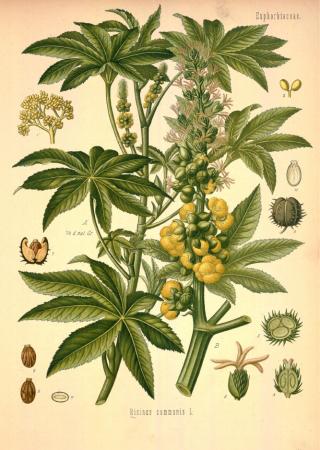 Castor Oil Plant Castor Bean Poisonous Nature