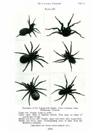 Sydney funnel web spider   Poisonous Nature