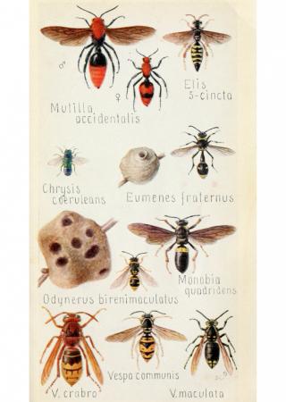 European Hornet Poisonous Nature